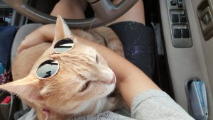 cat with sunglasses in driver's lap